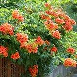 Цветок Кампсис, квітка