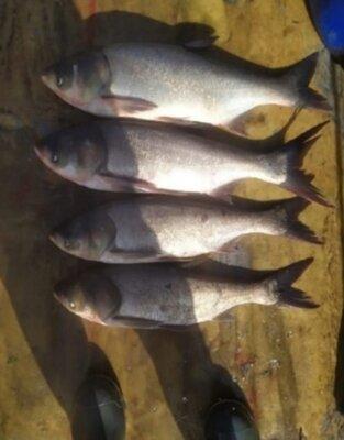 Продано: Продам рыбу толстолоб