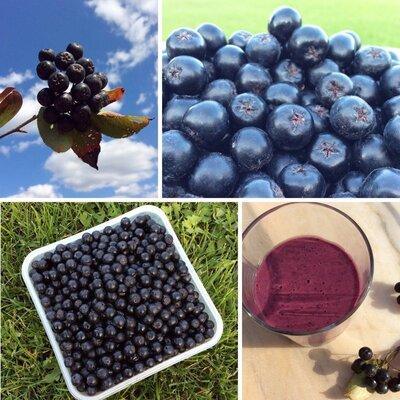 Продано: Черноплодная рябина арония свежие ягоды суперфуд экопродукт